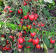 """La savoureuse et belle tomate """"Pink Pearl"""" ne laissera personne indifférent.  Description des variétés de tomates avec photos"""