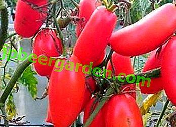 """Une excellente variété de tomates à cultiver en serre - """"Icicle pink"""""""