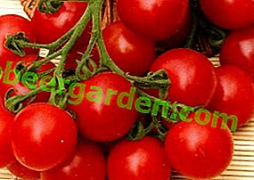 Erzielen Sie Erfolg beim Anbau, Pflanzen und Pflegen einer bestimmten Sorte - der Cherry Blossam-Tomate F1