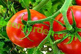 """Die reichlich vorhandene Tomate """"Mashenka"""" liefert eine hervorragende Ernte, selbst wenn sie von einem Anfängergärtner kultiviert wird"""