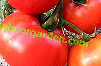 """Les principales caractéristiques de la variété de tomate hybride prometteuse """"King of Kings"""""""