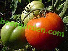 """Tomatensorte mit hoher Immunität ernten - """"Champion"""" f1: Beschreibung und Foto"""