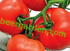 Une tomate qui ne laissera jamais tomber Mobil: description et photo d'une variété précoce moyenne