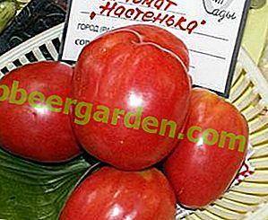 W przypadku szklarni i otwartych łóżek wybierz pomidor Nastenka: cechy i opis odmiany