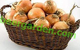 Lagerung von Zwiebeln, Grün, Sevka und Lauch unter den Bedingungen einer Wohnung und seines Hauses im Winter
