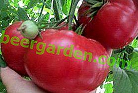 """Tomate préférée """"Miel de framboise"""": description de la variété, recommandations pour la culture"""