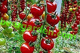 """Variété fascinante de tomate """"Raiponce"""": description et photo, caractéristiques de la culture"""