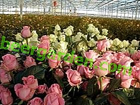 Roses en serre: combien pousse et comment pousser toute l'année?