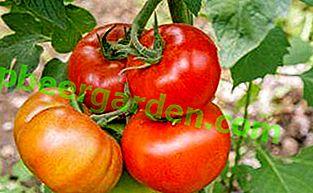 Опис сорту томату «Анастасія»: основні характеристики, фото помідорів, врожайність, особливості та важливі гідності