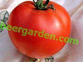Ce dont vous avez besoin pour le climat sibérien, c'est la variété de tomate Ivanitch F1: origine et description de la tomate