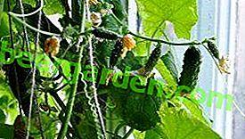 Wskazówki i porady, jak uprawiać ogórki na parapecie w mieszkaniu w zimie?  Funkcje sadzenia i pielęgnacji sadzonek w domu