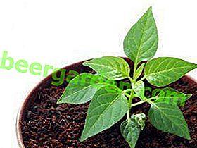 Règles et dates de plantation du poivre bulgare: quand planter pour les semis, en particulier le semis des graines selon le calendrier lunaire, les soins, la transplantation et le pansement supérieur
