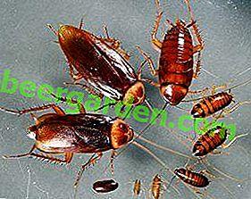Всичко за това как хлебарките се размножават и полезни съвети за предотвратяване на бързо размножаване.