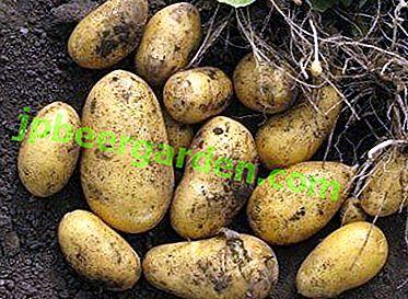"""Wie man Mehrzweckkartoffeln """"Felox"""" anbaut: Merkmale der Sorte, Beschreibung und Foto"""