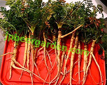 Qu'est-ce que la carotte sauvage et à quoi sert-elle?  Photo et description de la plante
