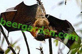 Wo lebt die fliegende Schönheit oder der Lebensraum der Fledermäuse?