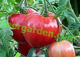 """Une merveilleuse nouvelle variété de tomate """"Abakan pink"""" - où et comment pousser, description des caractéristiques, photo tomate"""