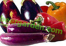 Auberginen im Gewächshaus: Was soll man mit Gurken, Tomaten oder Paprika pflanzen?