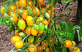 """Décoration savoureuse de la serre - tomate """"Date Yellow"""": une description de la variété tomates, caractéristiques de soins"""