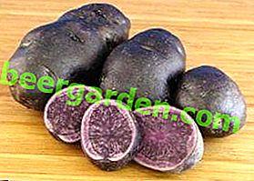 Opis unikalnej odmiany ziemniaków Gourmet: cechy i zdjęcia