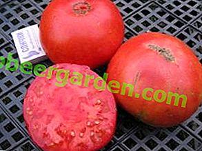 """Описание на сорта домат """"Правилен размер"""", отглеждане и основни предимства"""