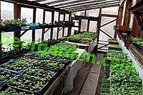 Piantine in crescita per la semina in una serra in policarbonato: quando piantare e cosa è più redditizio piantare?