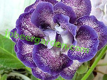Прекраснейший представник рослин - глоксинія Шагане.  Квітка, від якого не відвести погляд!
