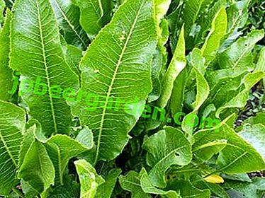 Proprietà utili di foglie di rafano, ricette per varie malattie