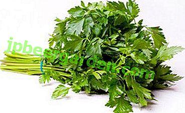 Die Verwendung von Petersilie: Kalorien, chemische Zusammensetzung und Eigenschaften der Pflanze