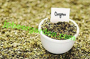 Caracteristici pentru prepararea oreganului uscat și metode pentru depozitarea acestuia.  Condimente foto