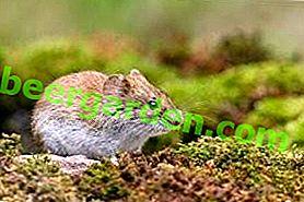 Arvicola grigia e caratteristiche della sua sottospecie
