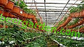 Tajemnice uprawy truskawek w szklarni przy użyciu holenderskiej technologii