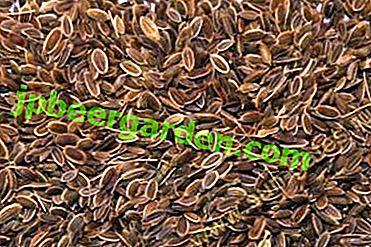 Rimedio naturale: infusi di semi di aneto.  Cosa aiuta, come preparare e bere correttamente?