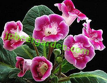 Pourquoi la gloxinia ne fleurit-elle pas et comment faire libérer les bourgeons?