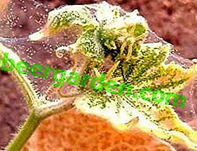 Mesures et moyens de lutte contre le tétranyque sur les concombres: en serre et sur le site