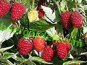 Тонкощі по вирощуванню малини в теплиці круглий рік