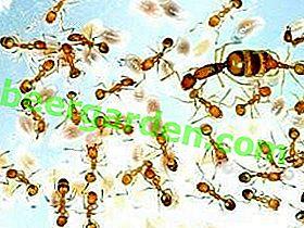 Кукци код куће?  Како се ријешити црвених мрава у стану?