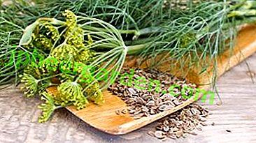 Чим корисні насіння кропу, чи допомагають від коліків?  Як їх правильно заварювати для новонароджених?