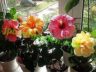Fleur de la mort - l'hibiscus peut-il être conservé à la maison?