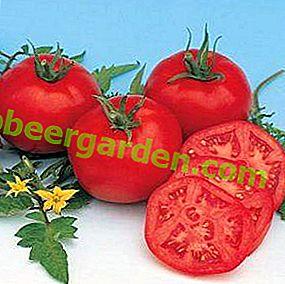 """Invité métropolitain dans le jardin - variété de tomate """"Moskvich"""", description, caractéristiques, photos"""