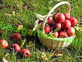 Wie lagere ich frische Äpfel für den Winter in der Wohnung?