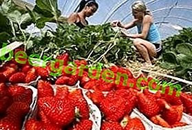 Comment faire pousser des fraises en serre toute l'année: technologie et détermination des variétés
