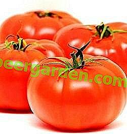 """Belle et savoureuse tomate """"athlète russe"""": description de la variété, caractéristiques de la culture, utilisation des tomates"""