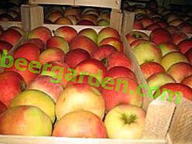 Wie speichere ich Äpfel für den Winter im Keller oder Keller?
