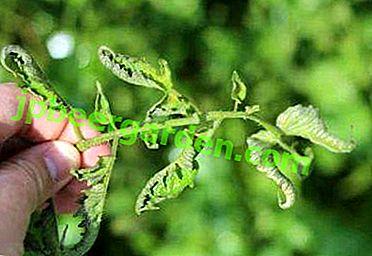 Шта је болесно од садница парадајза?  Шта ако се лишће увије или подигне, осуши и отпадне?
