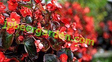 Types de bégonias annuels et pérennes et recommandations utiles pour les soins