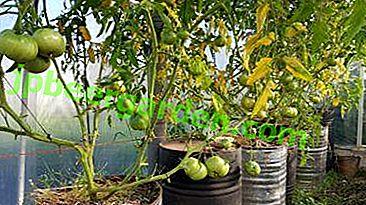 30 kg Tomaten aus einem Busch: Mythos oder Realität?  Alles über die Methode, Tomaten in einem Fass anzubauen