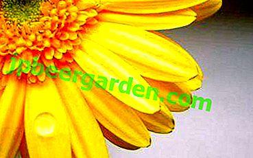 Fleur de joie et de bonheur - gerbera jaune!