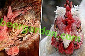 Uporządkuj rzeczy w kurniku!  Środki zwalczania pcheł kurczaka