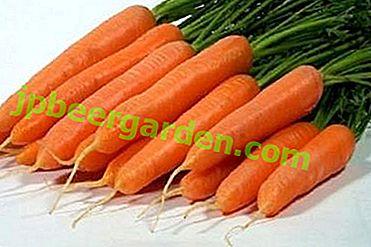 Все популярному про сорт моркви Сентябрина: опис, особливості вирощування, зберігання врожаю та інші нюанси